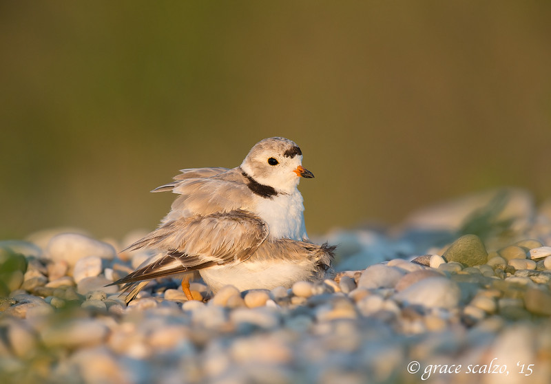 Piping Plover Female Brooding Fledglings