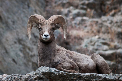 Horned:  Bighorn Sheep, Dall Sheep, Mountain Goats