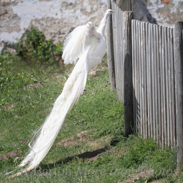 Strong Tail Feathers 2012-05-18  I never knew that albino peacocks have such a talent - standing on their tail feathers to see over a fence ;)