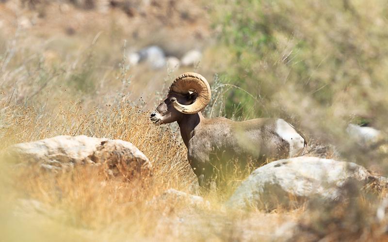 desert sheep landscape.jpg