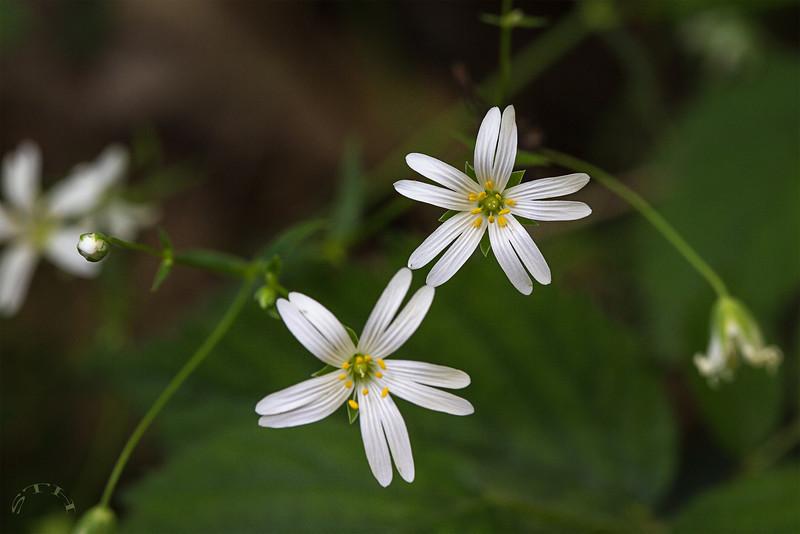 Stellaire holostée (Stellaria holostea)  Plante à 5 pétales blancs qui sont fendus sur la moitié de leur longueur.  Bois de Mont-Gauthier :  https://mapsengine.google.com/map/edit?mid=z8asQTxTvzYQ.kt2hspGFKehY