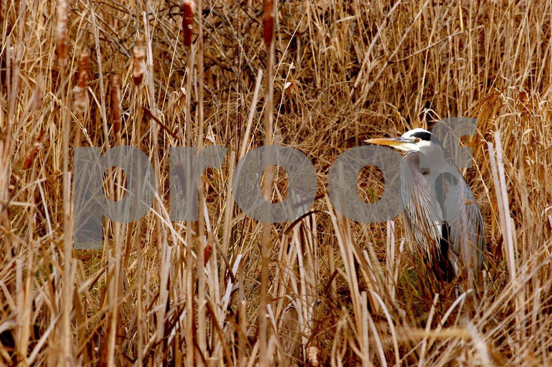 Great blue heron 4794.jpg