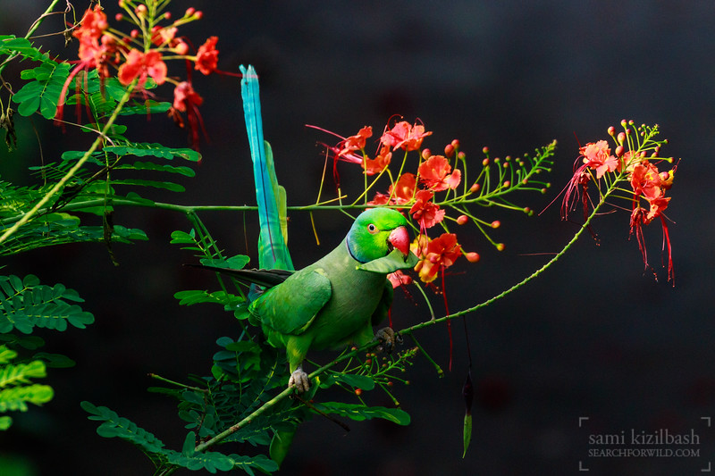 Rose-ringed Parakeet 9.jpg