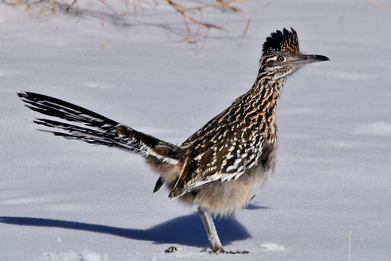 BIRDS - Roadrunner.jpg