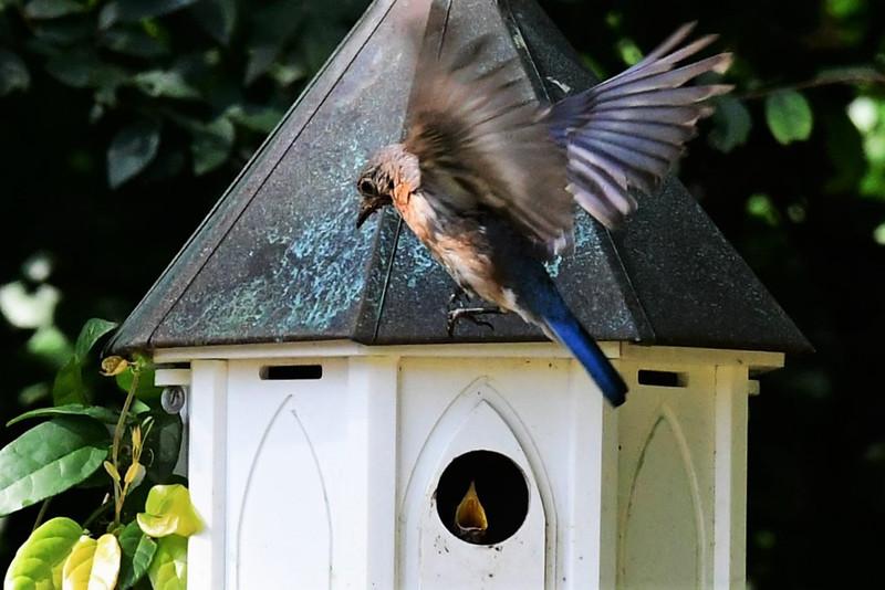 HUngry Bluebird