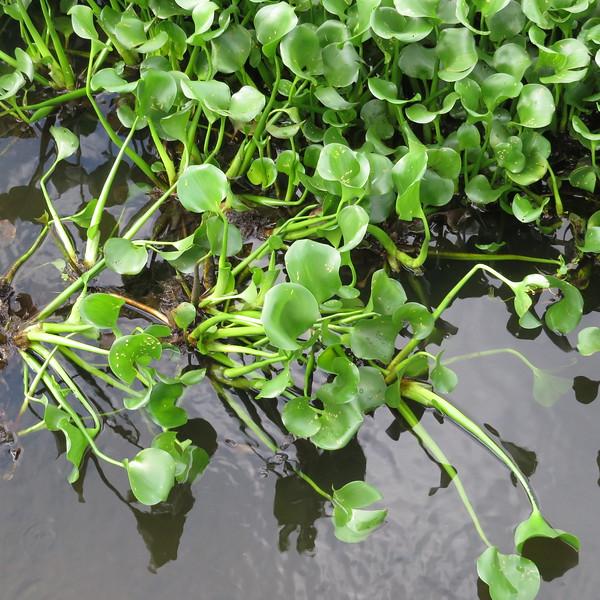 water hyacinth foliage.JPG