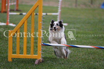 Contact Point & Toy Fox Terrier  AKC Agility  June 2019