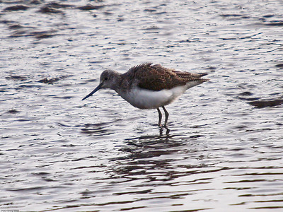 Greenshank (Tringa nebularis)