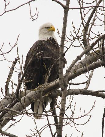 Eagles on Shawano Lake in November, '12