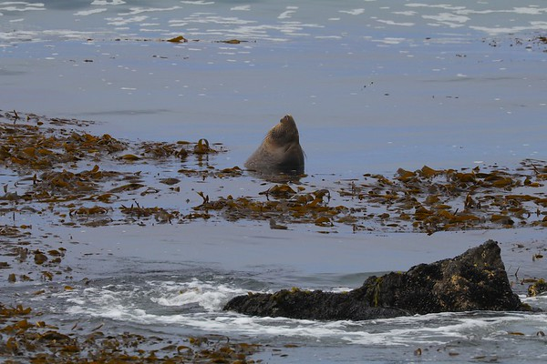 Northern California Coast Sea Lions