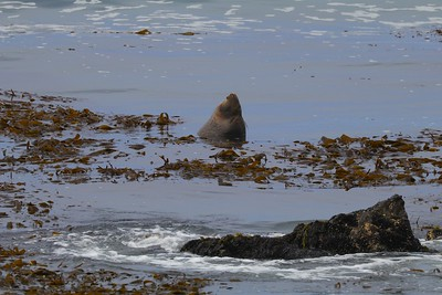 Northern California Coast Sea Lions