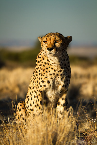(captive) Cheetah - game reserve near Keemanshoop, Namibia