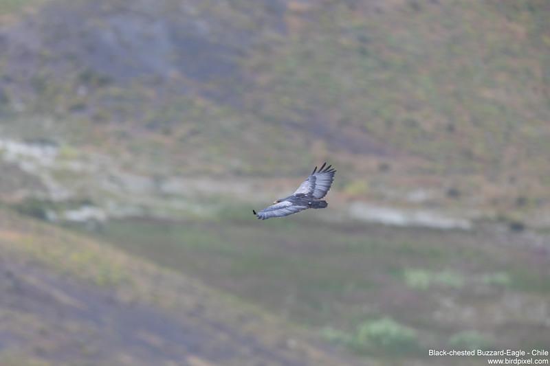 Black-chested Buzzard-Eagle - Chile