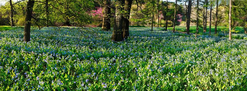 Virginia Bluebells, Morton Arboretum, Illinois