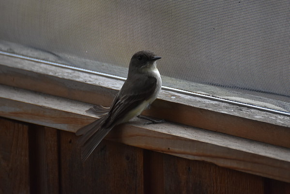 Birds in Screened in Porch