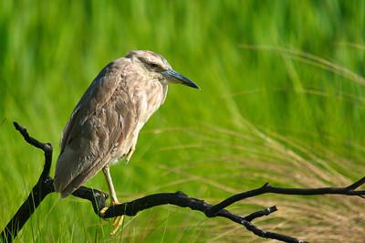 St Marks NWR Wading Birds