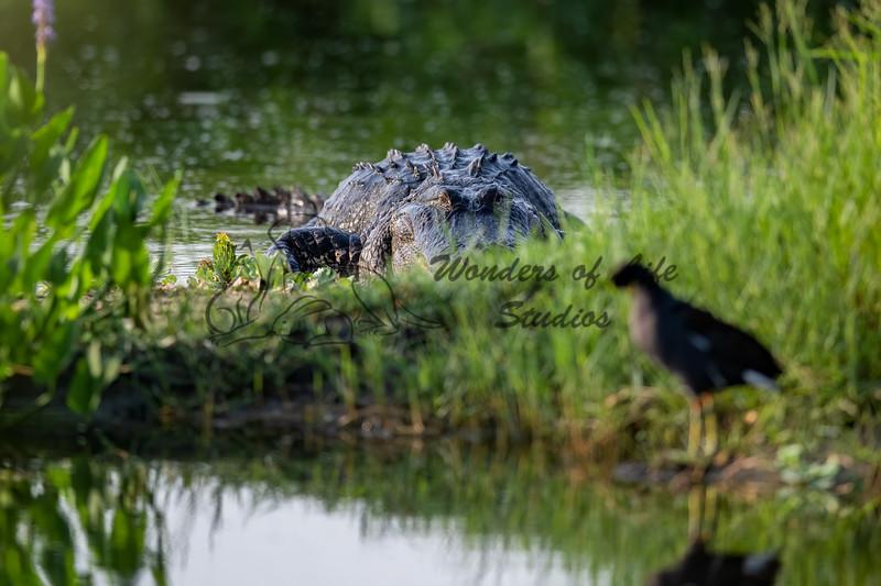 Florida: Reptiles