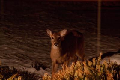 Snow Deer 2011