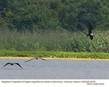 MagnificentFrigatebirdsA29751 copy.jpg