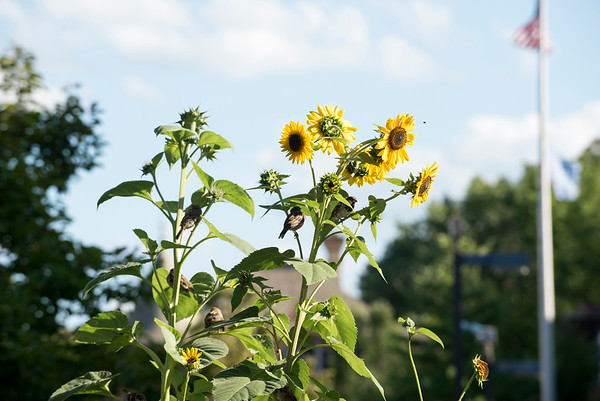 08/29/19 Wesley Bunnell | StaffrrBirds and bees buzz around sunflowers in a small garden between the New Britain YMCA and the New Britain Public Library on Thursday August 29, 2019.