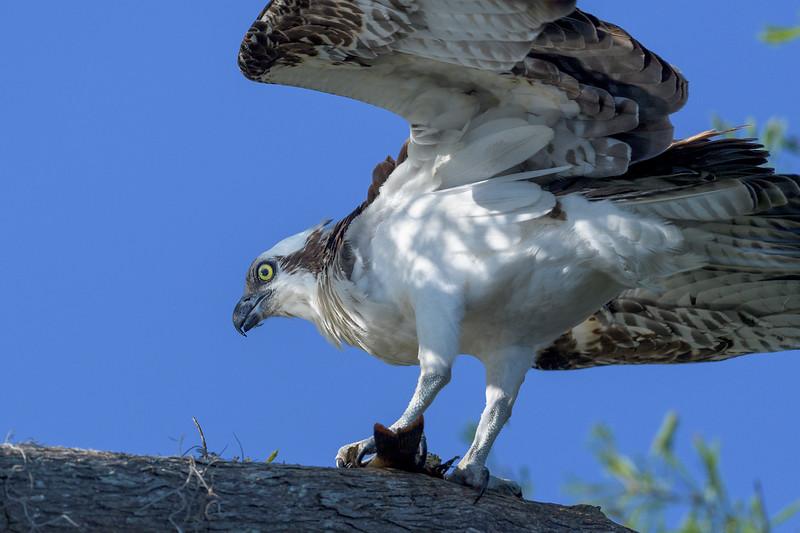 2021_KSMetz_Florida_Osprey Trip_April06_NIKON D5_0809-Edit.jpg