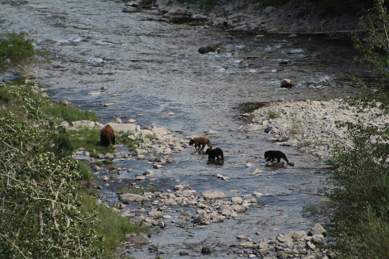 20110828 - 068 - GNP - Sow And 3 Bear Cubs Along Road By Many Glacier Hotel.JPG
