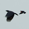 red winged blackbird vs. American crow