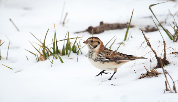 Central Indiana Birds 2012