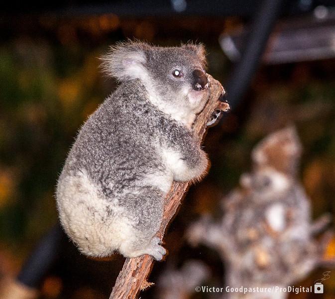Koalafornia-32.jpg