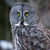 Great Grey Owl - Alberta