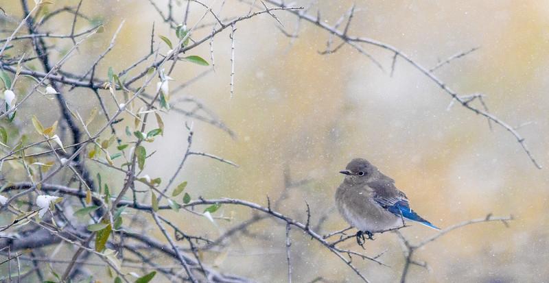 Mountain Bluebird flock in snow Theodore Roosevelt National Park Medora ND -1795.jpg
