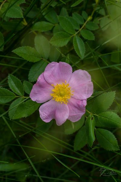 wild rose (native)