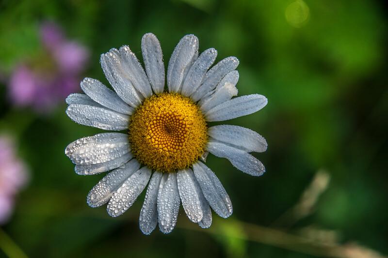 Daisy-Dew.jpg
