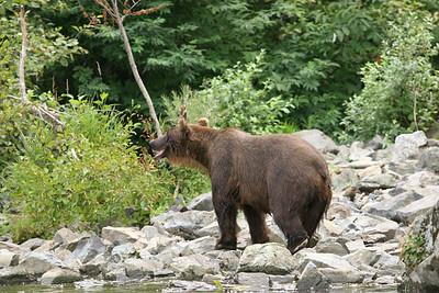 2nd BEAR VIEWING  - 2005
