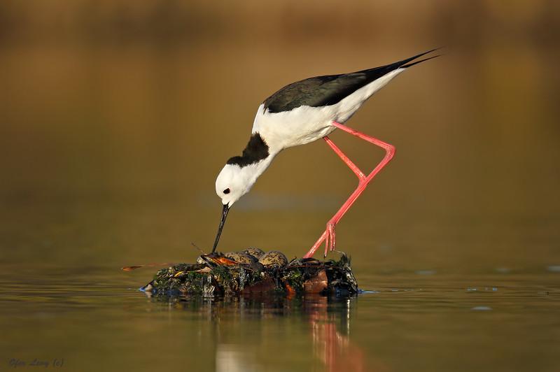 Stilt on the nest 1 MASTER.jpg