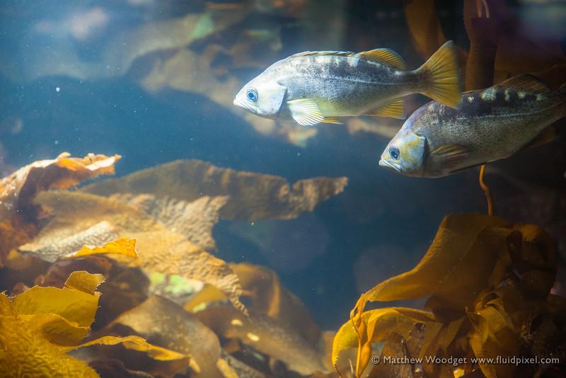 Woodget-140526-0416--aquarium, aquarium fish, blue.jpg