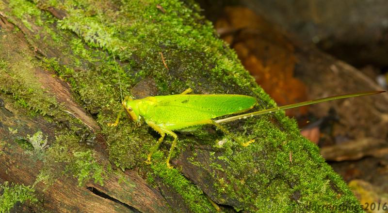 A katydid (Tettigoniidae) with an impressive ovipositor in Panama.