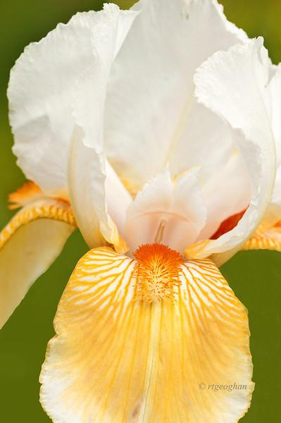 Bearded Iris Coral Chalice