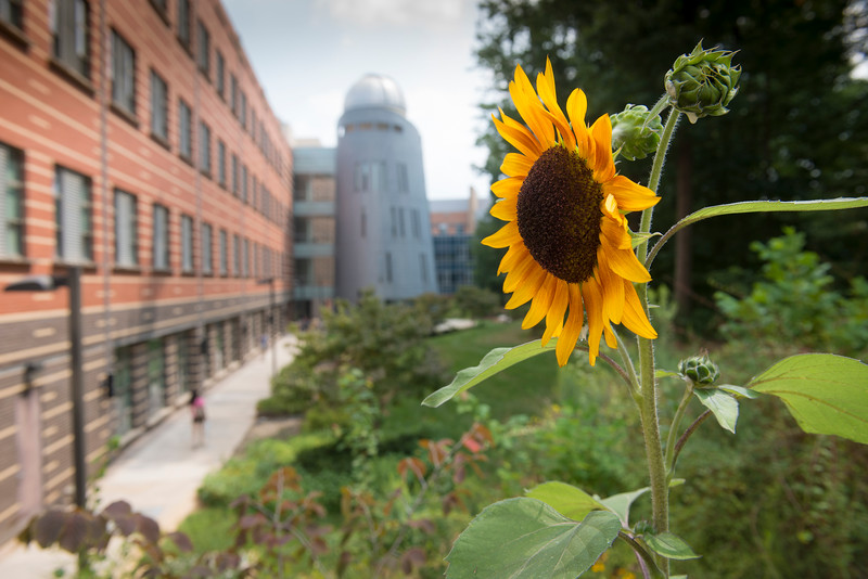 Sunflower with Research Hall