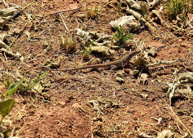 NEA_0580-7x5-Lizard.jpg