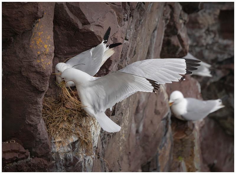 Kittiwakes nest building
