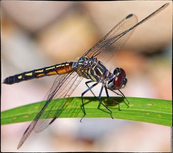 Dragonflies June 2019