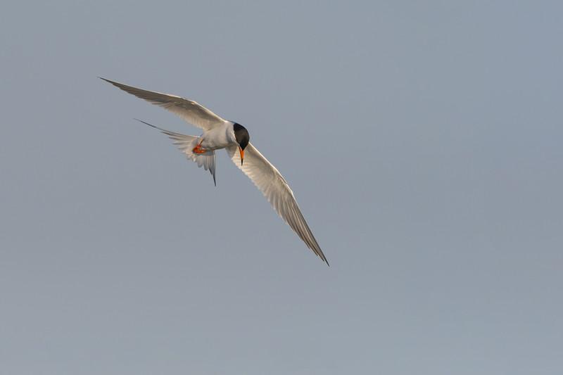 Forsters Tern in Flight Two.jpg