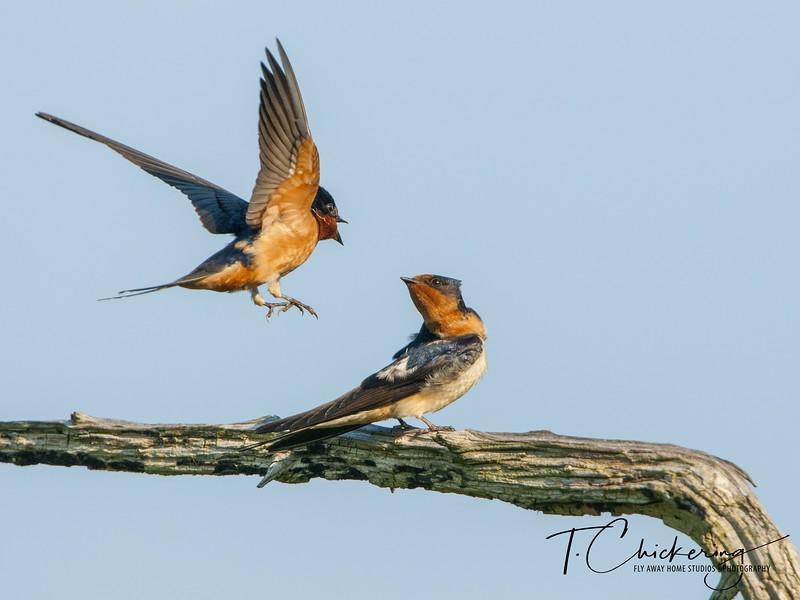 Barn Swallow 12-1558299067977.jpg