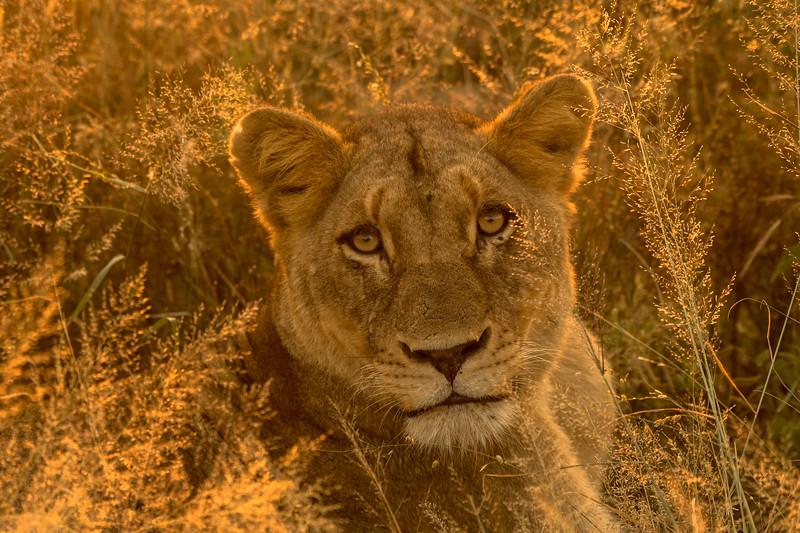 Backlit Female Lioness