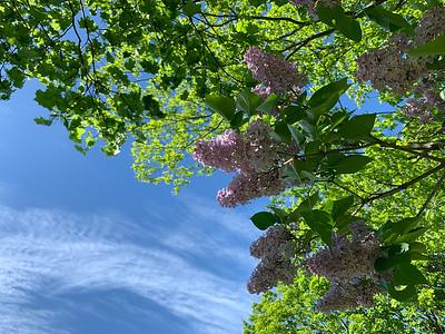 lilac may