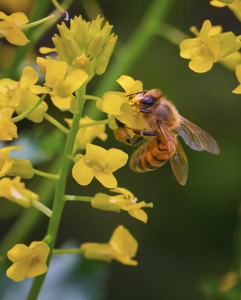 Bee On Mustard Plant