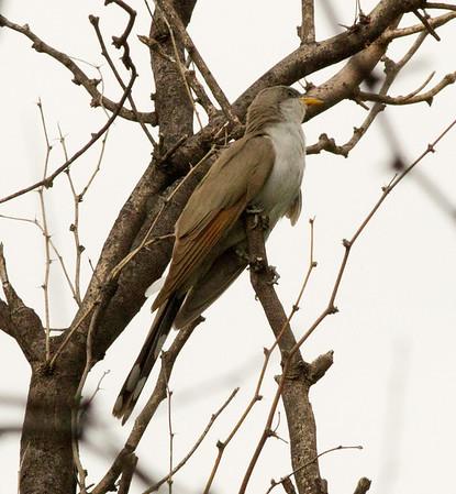 Yellow-billed Cuckoo Coccyzus americanus