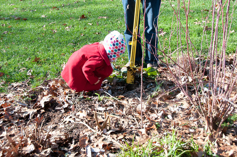 Stephen LOVES his new bulb planter, and has planted hundreds of bulbs this year.