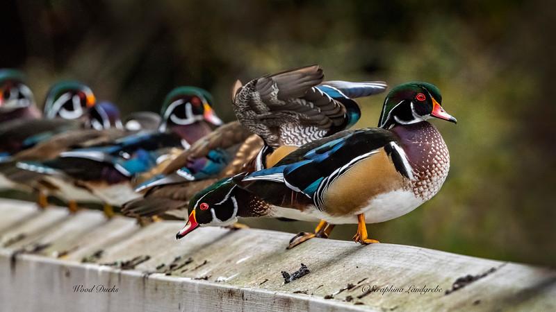 _DS01740Wood ducks on Fence.jpg